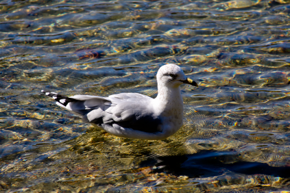 not-a-swan